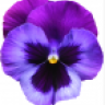 Violet_21